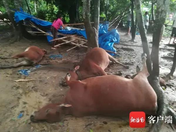 防雷很重要!!!一起雷击事故7头黄牛遭雷劈死亡,事发海南省澄迈县